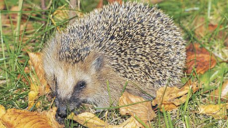 help hedgehogs in winter and beyond