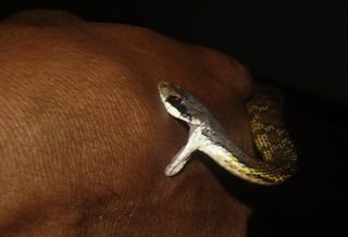A Sri Lankan keelback snake bites a man on the back of his hand.