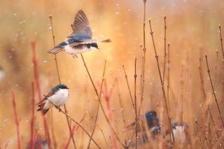 tree swallows perch in fields around Ithaca, New York