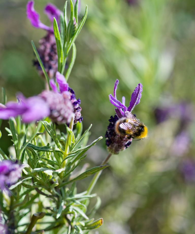 eco friendly garden with lavender and bee