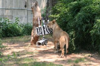 Zookeepers sometimes construct dummy prey out of cardboard. Credit: Heidi Hellmuth, Smithsonian's National Zoo