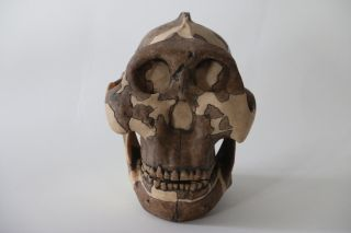 <em>Paranthropus boisei</em>, whose skull cast is shown here, roamed across East Africa 1.4 million to 2..4 million years ago.