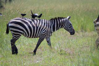 Zebra in Uganda