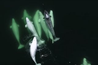 A lone narwhal swims with his bros ... beluga whales.
