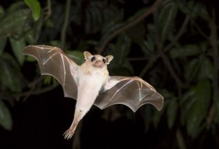 a dwarf epauletted fruit bat (<em>Micropteropus pussilus</em>) flying at night