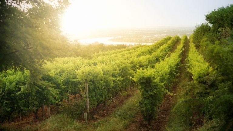 Sun rising over hillside vineyard. Shot in Crôzes-Hermitage area of the Côtes du Rhône wine region in France.
