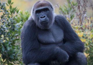 Gorilla The Zoo
