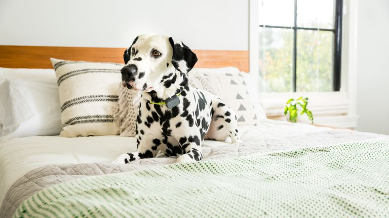 the best pet tracker: withings pet tracker on Dalmatian