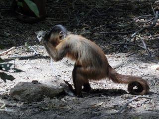 Capuchin monkey with rock