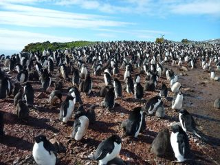 Adélie penguins