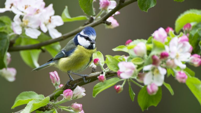 How to attract birds into your garden. Blue tit bird in blossom tree
