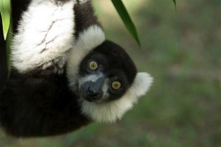 This is a black-and-white ruffed lemur (Varecia variegata). More than 90 percent of all lemur species are threatened with extinction or worse due to habitat destruction and hunting.