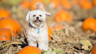 Homemade pumpkin dog treats: Small white dog stood in pumpkin field