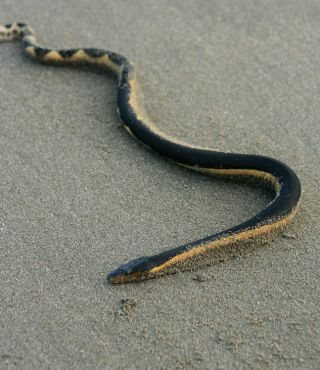 Yellow-bellied sea snake on the sand.