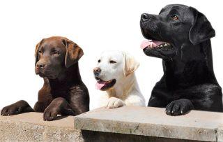 three-labrador-retrievers