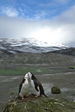 Two chinstrap penguins nuzzle in Antarctica