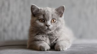 One of the rarest cat breeds, a British Shorthair Kitten lying down looking at camera