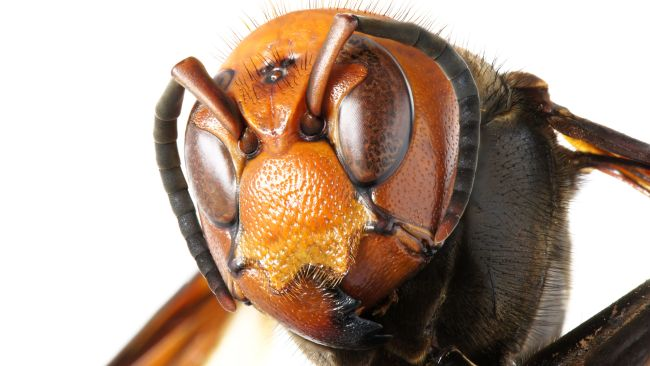Head of an Asian giant hornet (Vespa mandarinia)