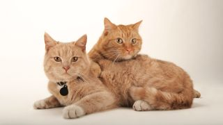 Two Ginger cats relaxing