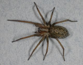 An image of a hobo spider