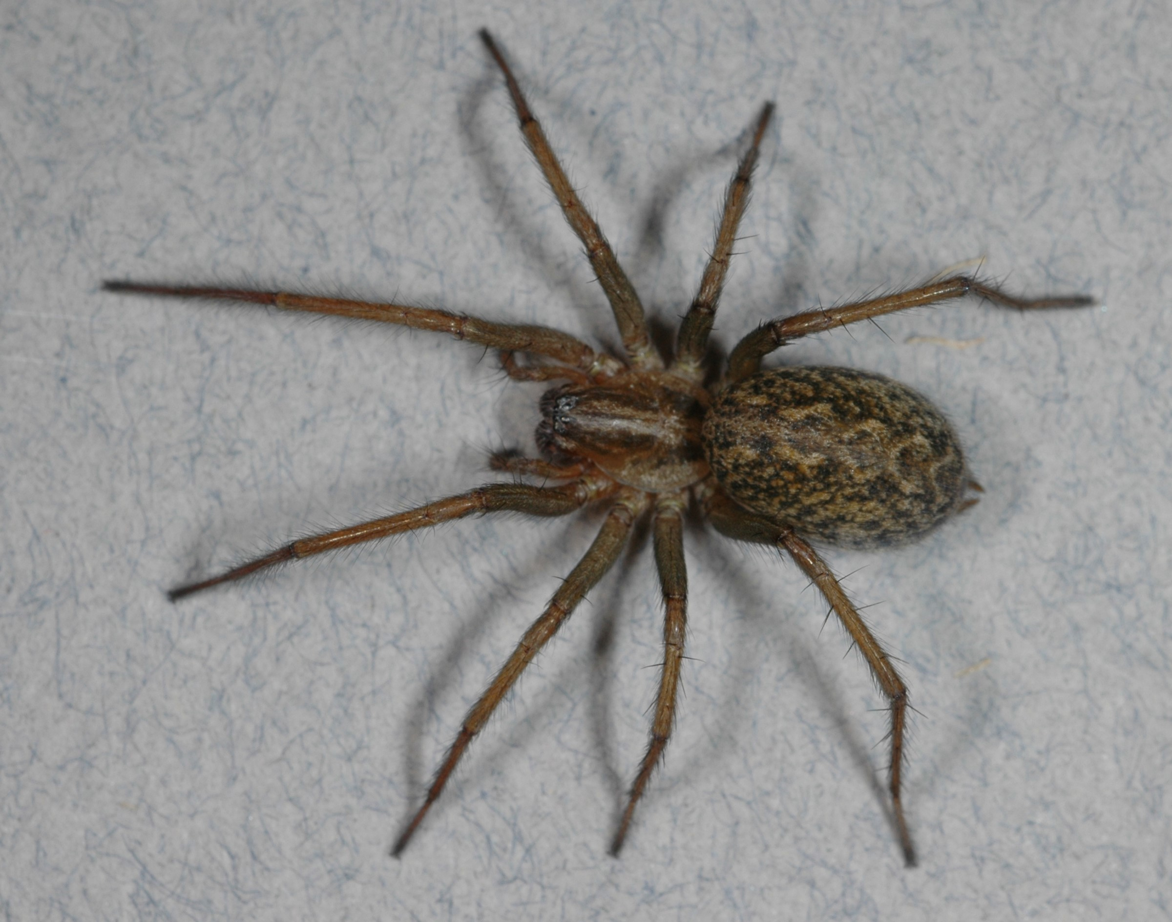 Wrongly Accused 3 Spiders May Not Kill Human Tissue After All Live Science