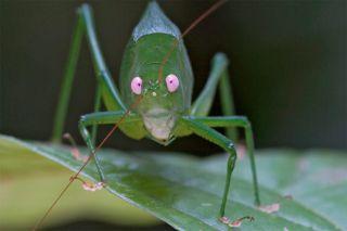 Pink-eyed Katydid