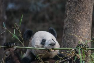 Panda with bamboo, endangered species, research