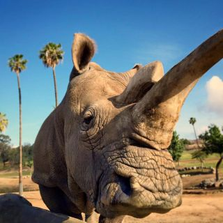 Nola the northern white rhino.