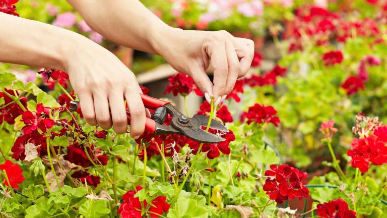 how to deadhead geraniums – cutting flower stems with secateurs