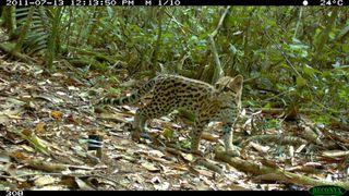 Camera trap photo of an oncilla, a rare cat species