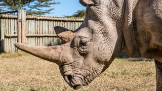 Najin the northern white rhino at Ol Pejeta Conservancy.
