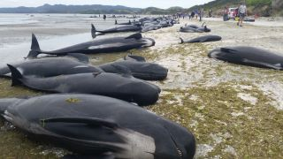 Hundreds of pilot whales stranded on Farewell Spit on the South Island of New Zealand today (Feb. 10, 2017).