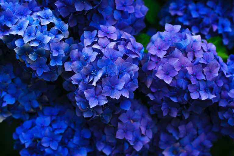 When to prune hydrangeas: Hydrangeas by Gaetano Cessati