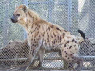 Hyena's Laugh Actually Fighting Words | Live Science