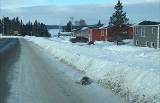 A seal is stranded on a road in Roddickton, N.L.