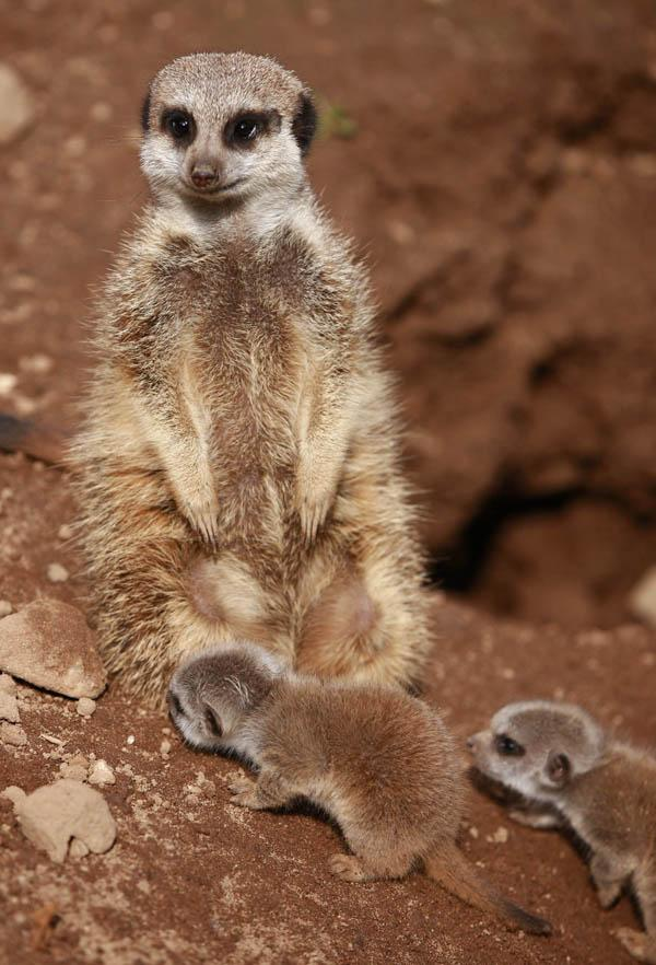 Meerkat Facts | Live Science