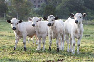 Ancient white park calves