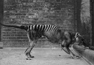 The Tasmanian tiger is among the best known of Australia's extinct species, but researchers have now revealed the extent of the crisis.