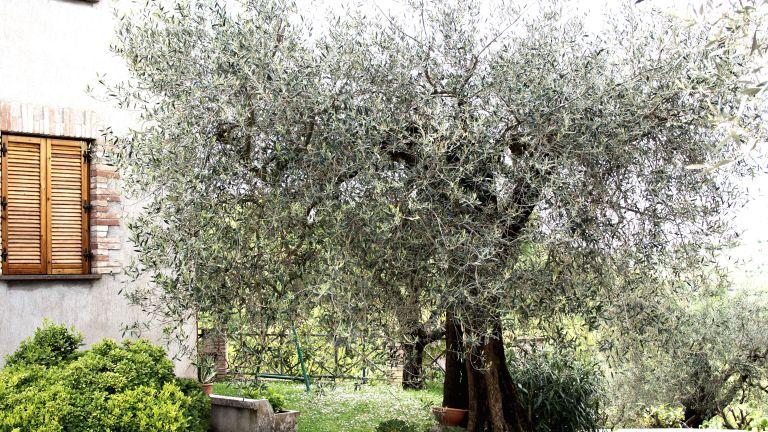 Mediterranean garden style with olive tree