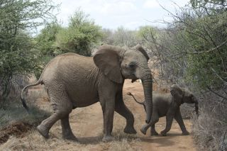 An African Elephant and calf