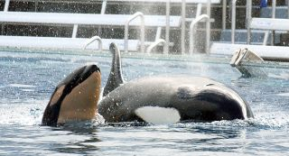 A baby killer whale swims with its mother Kasatka on Dec. 21, 2004, at Shamu Stadium at SeaWorld Stadium in San Diego, California.