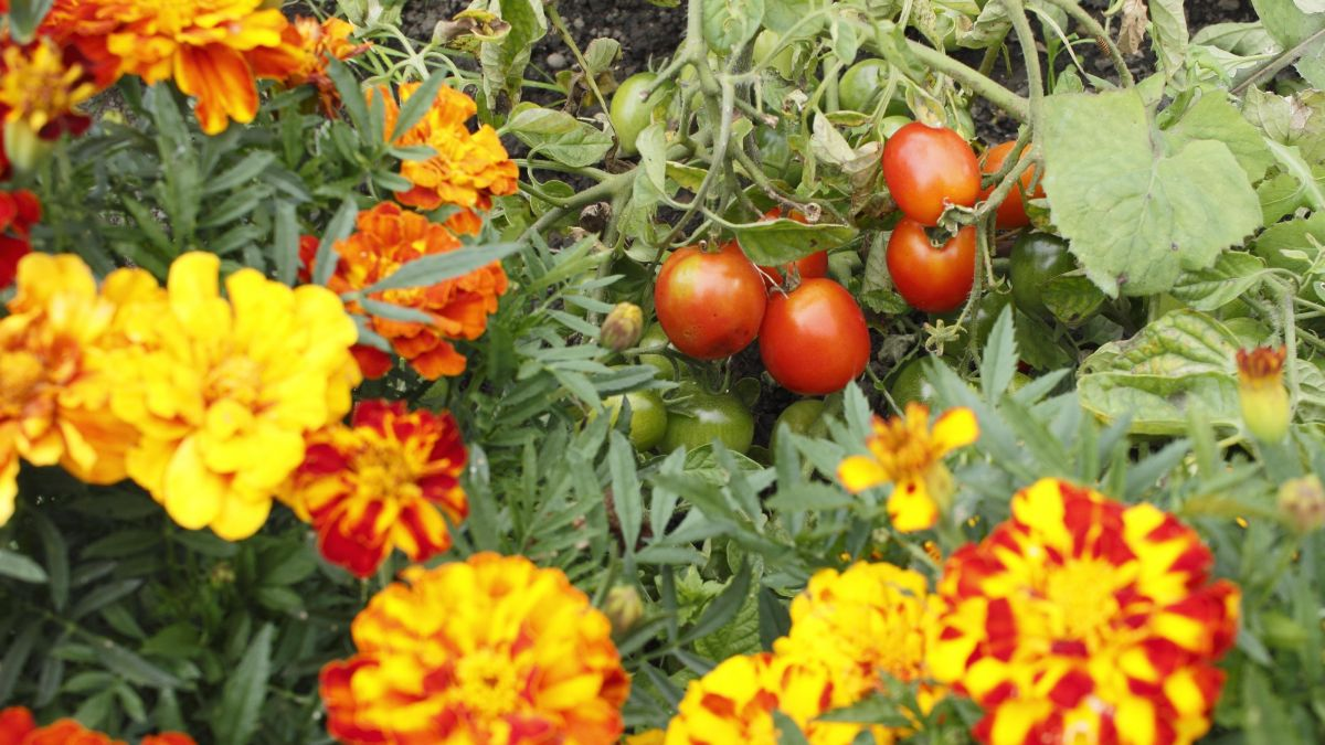 Best companion plants for tomatoes: herbs, veg and flowers to grow alongside tomatoes