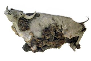 bison Brain Scan, bison mummy