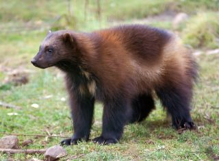Facts About Wolverines Live Science