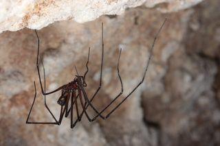 A Tasmanian cave spider (<em>Hickmania troglodytes</em>)