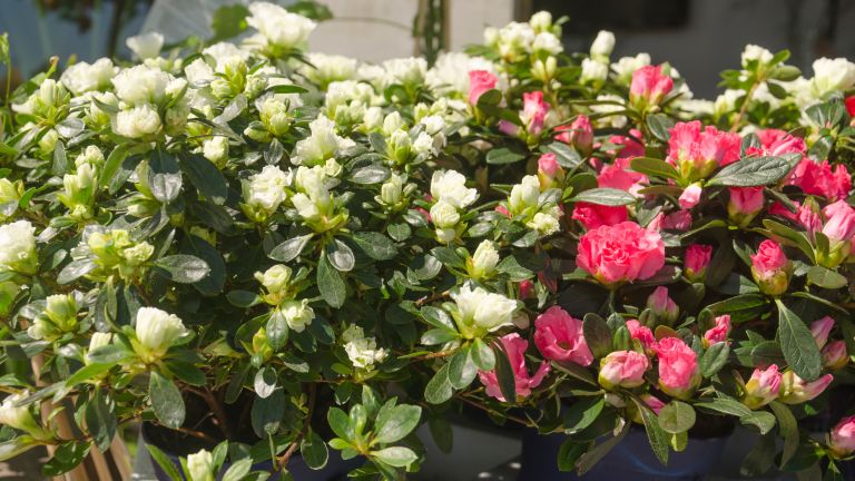 Azaleas in containers