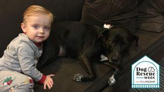 adopting a pit bull
