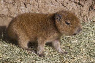 capybara baby San Diego Zoo