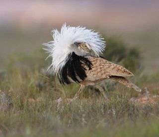 Houbara bustard mating display