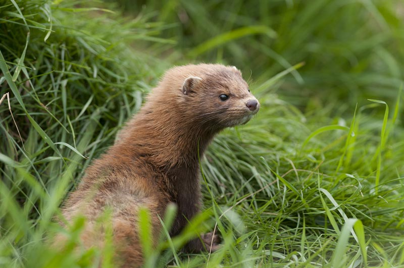 Facts About Minks Live Science